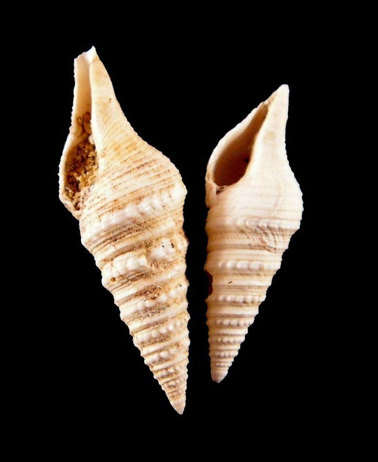 Turridae - † Gemmula crenulata (Lamarck, 1804) - Lutétien (Saulx-Marchais) Gemmcren10