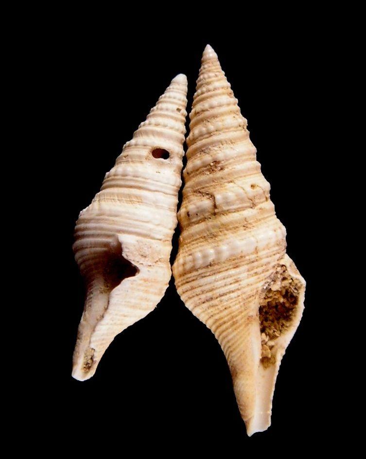 Turridae - † Gemmula crenulata (Lamarck, 1804) - Lutétien (Saulx-Marchais) Gemmcren_0