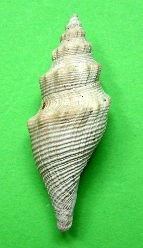 Borsoniidae - † Genotia (Pseudotoma) intorta (Brocchi, 1814) - Plaisancien Genointo12