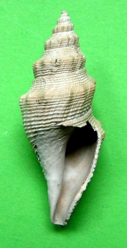 Borsoniidae - † Genotia (Pseudotoma) intorta (Brocchi, 1814) - Plaisancien Genointo13