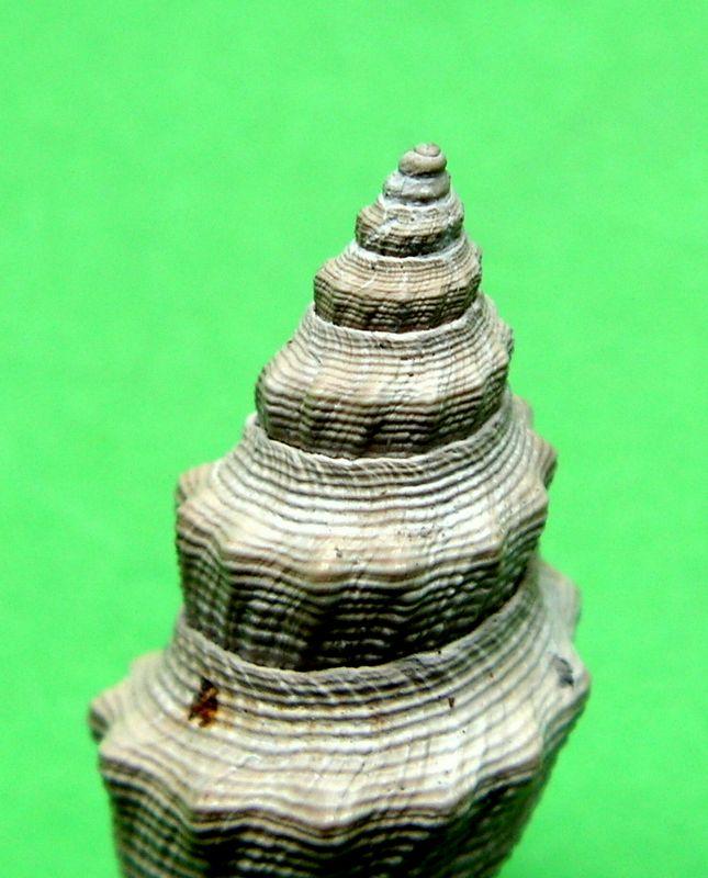 Borsoniidae - † Genotia (Pseudotoma) intorta (Brocchi, 1814) - Plaisancien Genointo_0