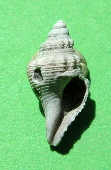 Borsoniidae - † Genotia bonellii (Bellardi, 1847) - Plaisancien Italie Genobone13