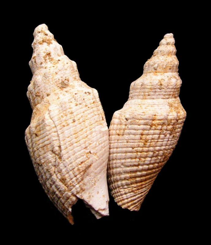 Borsoniidae - † Genota sallomacensis Cossmann & Peyrot,     - Serravalien (?) Genosall11