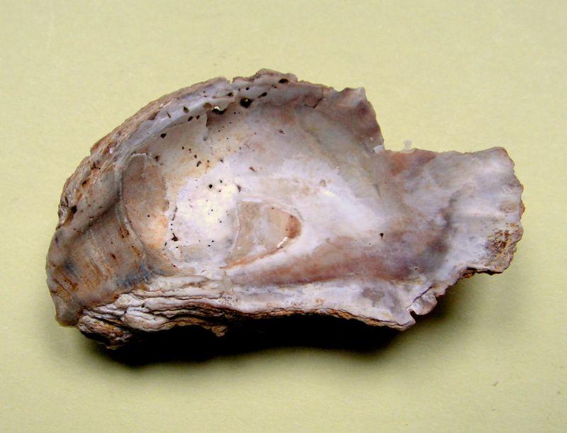 Huîtres et microfossiles charentais  Multicostata11