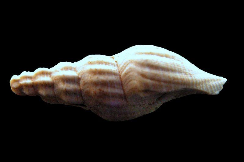 Mangeliidae - † Mangelia (Atoma) cf costata (Peyrot, 1932) - (Merignac) Mangcost10