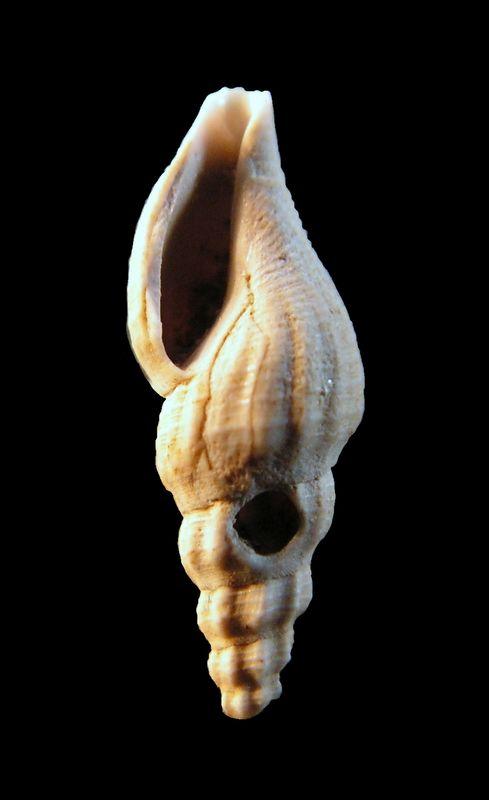 Mangeliidae - † Mangelia (Atoma) cf costata (Peyrot, 1932) - (Merignac) Mangcost13