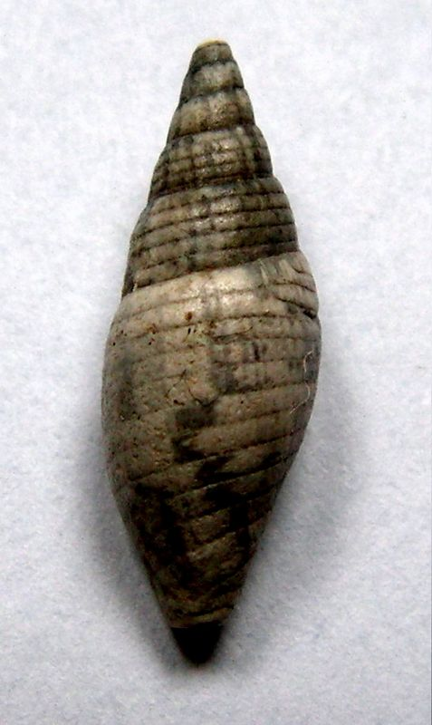 Mitridae - † Mitra salomacensis, Mayer 1891 - Burdigalien, Langhien et Serravalien Mitrsalo11