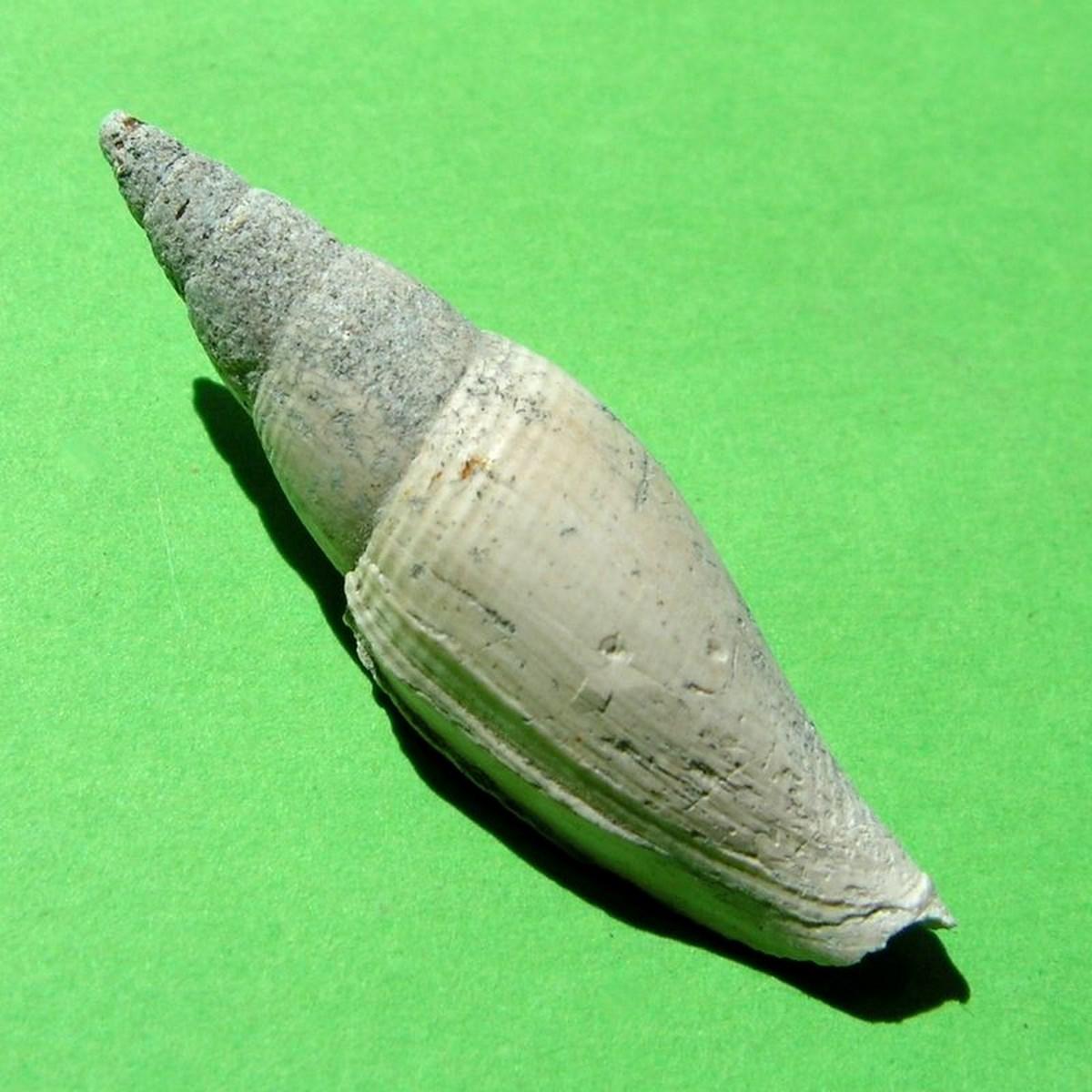 Mitridae - † Mitra transiens (Bellardi, 1887) - Plaisancien Mitrtran11
