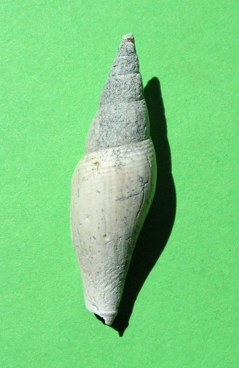 Mitridae - † Mitra transiens (Bellardi, 1887) - Plaisancien Mitrtran12