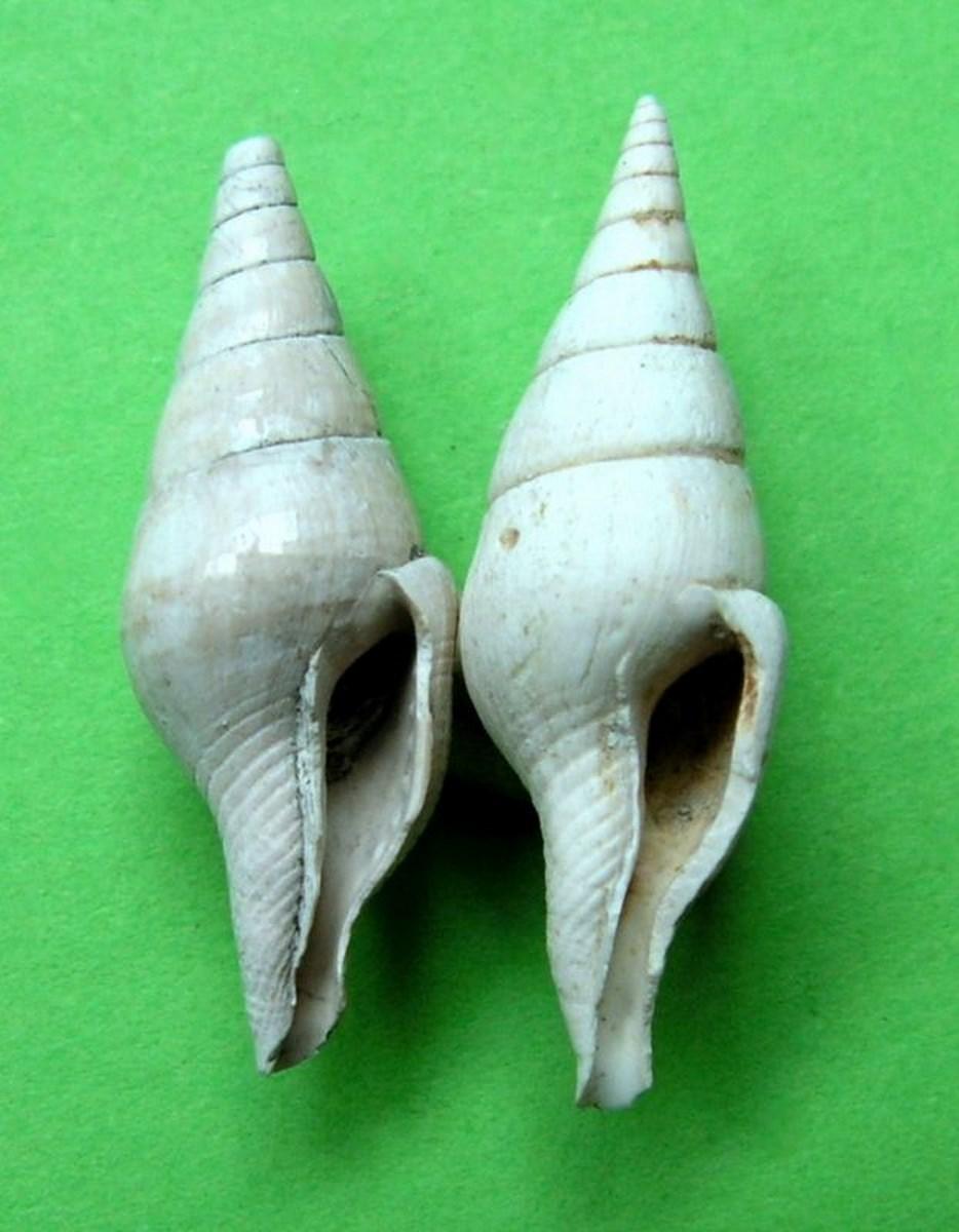 Columbellidae - † Mitrella (Macrurella) nassoides (Grateloup, 1827) - Plaisancien de Haute-Provence Mitrnass14