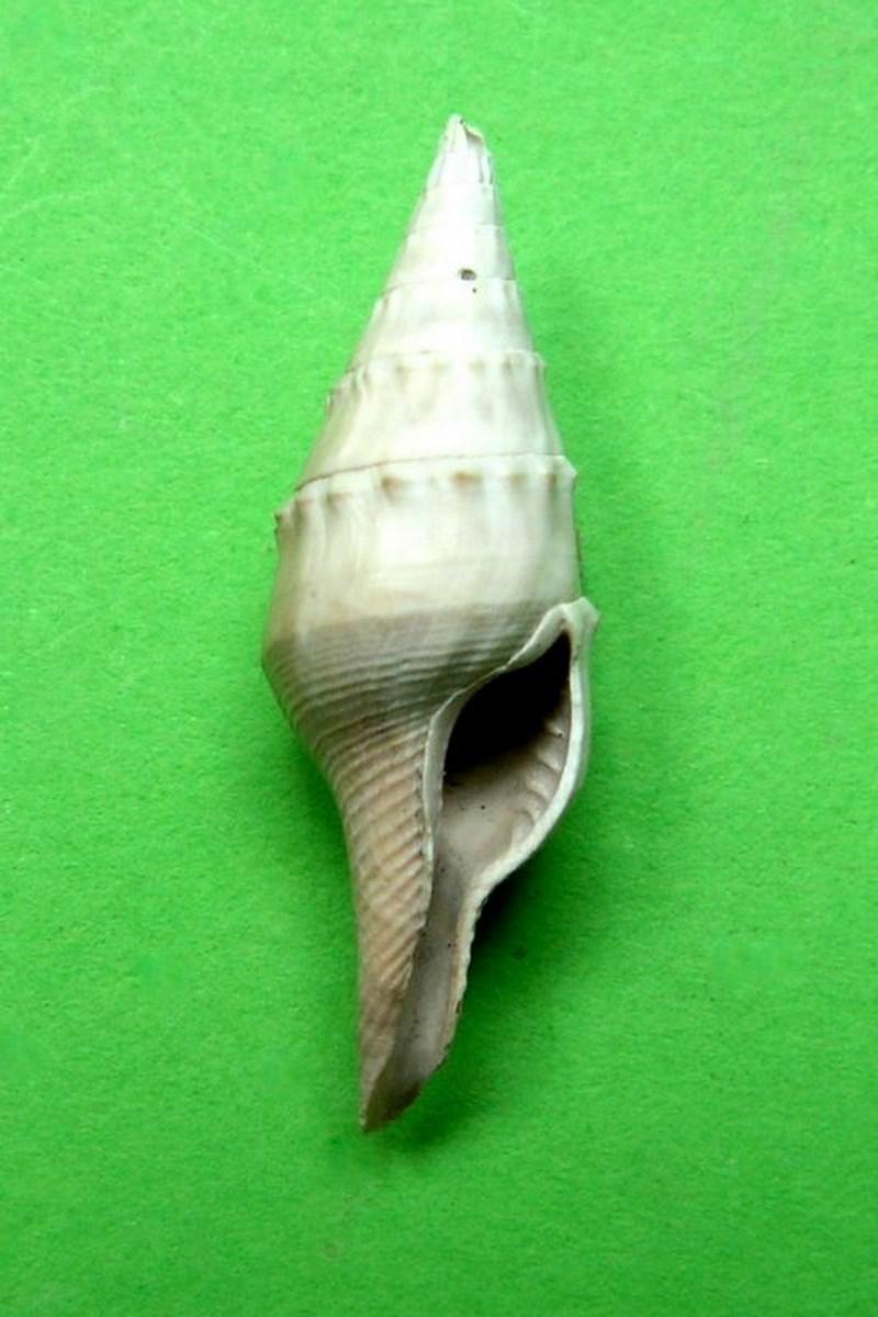 Columbellidae - † Mitrella thiara (Brocchi, 1814) - Plaisancien de Haute-Provence Mitethia14