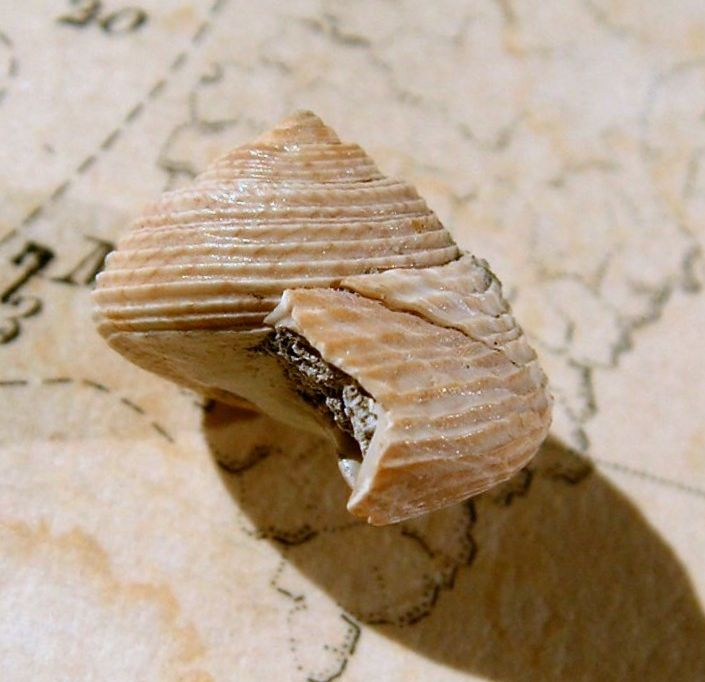 Trochidae - † Monodonta amedei turoniensis GLIBERT, 1949 - Aquitanien / Burdigalien (Mont de Marsan 40) Monodonta_amedei_turonensis16