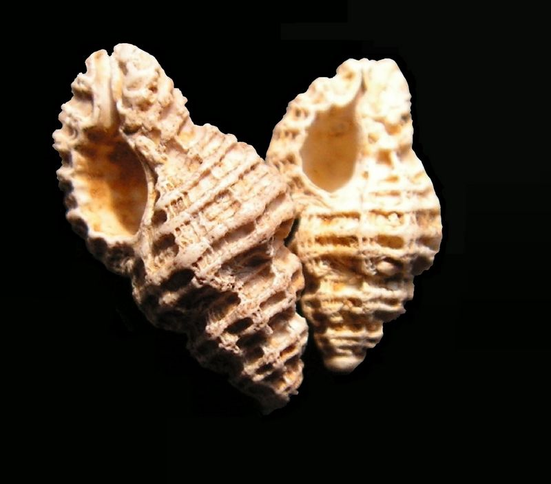 Muricidae - † Murex (Favartia) suboblonga (d'Orbigny, 1850) - (Rég. de l'Adour / Mont de Marsan 40) Muresubo13