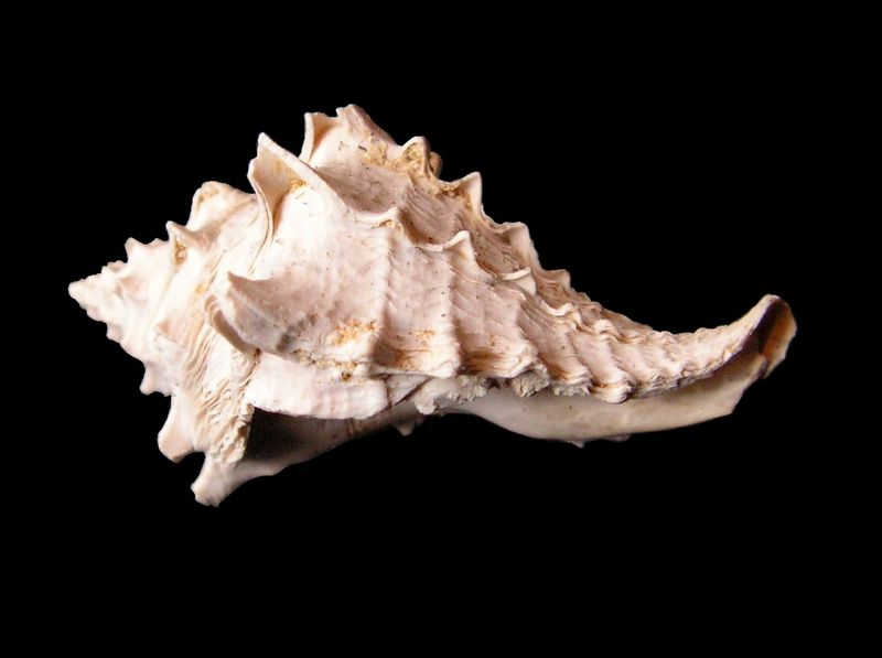 Mirucidae - † Crassimurex calcitrapa Lamarck, 1803 (GA 169-22) - Lutétien Murecalc10