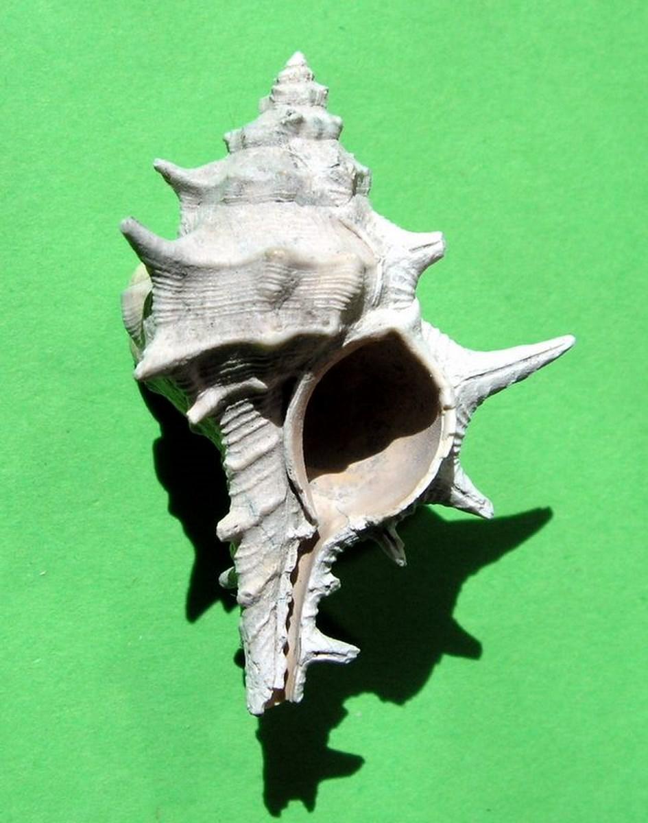 Muricidae - † Murex (Promurex) spinicosta (Bronn in Michelotti, 1841) - Plaisancien Italie Murespin12