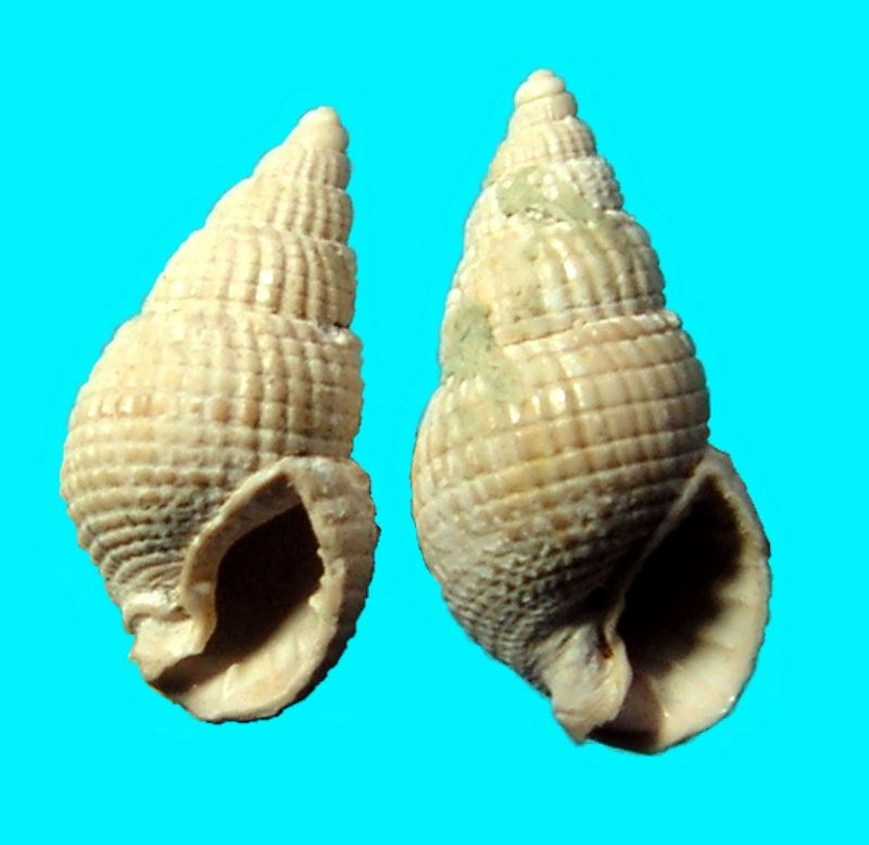 Nassariidae - † Nassa (Amycla) duvergieri (Peyrot, 1924) C&P LXXVII 3/78-80 - (Mérignac) Nassduve12