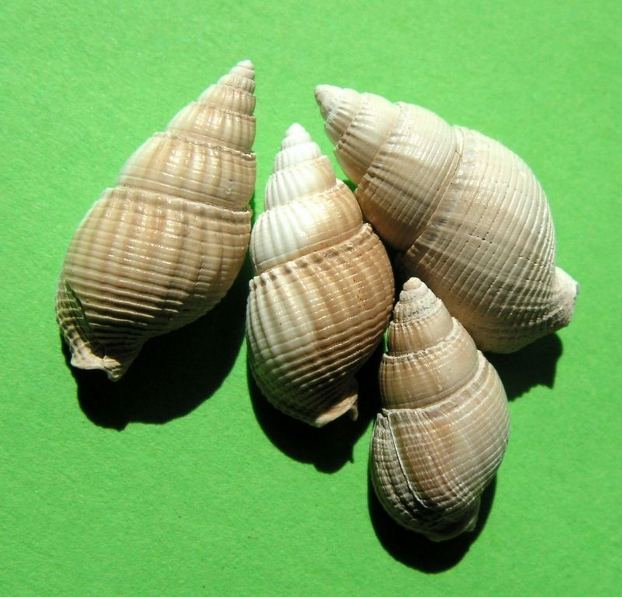 Nassariidae - † Nassarius cossmanni (Depontailler, 1878) Nasscoss10