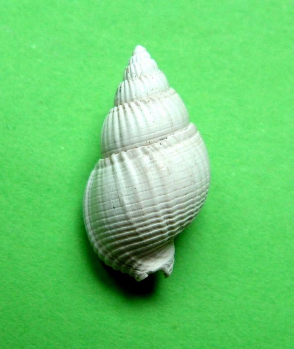 Nassariidae - † Nassarius cossmanni (Depontailler, 1878) Nasscoss13