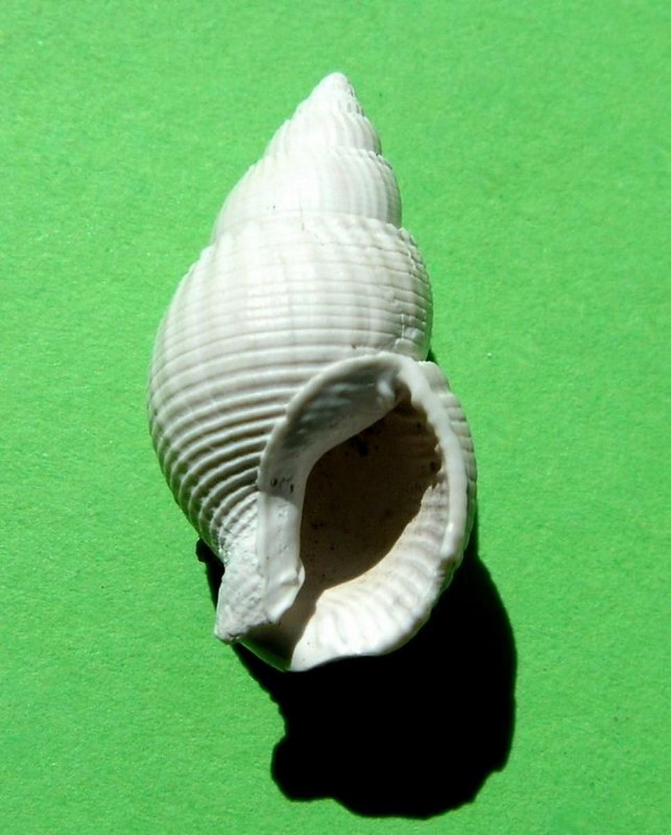 Nassariidae - † Nassarius cossmanni (Depontailler, 1878) Nasscoss14