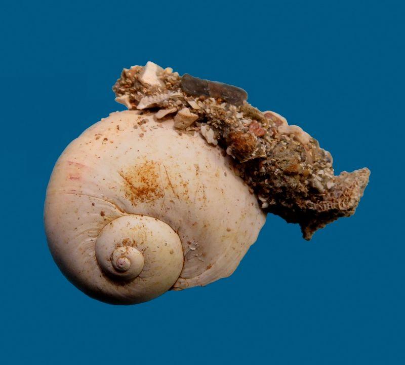 Naticidae - † Natica burdigalensis (Mayer, 1864) - (Mérignac) Natiburd10