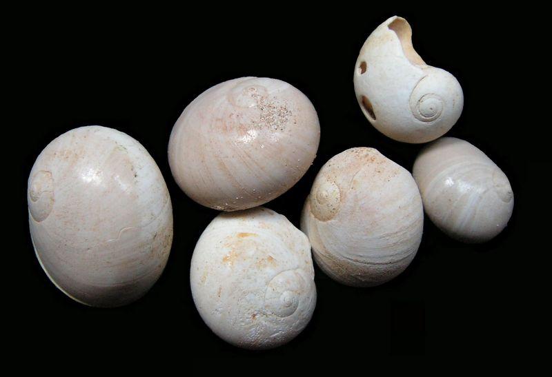 Naticidae - † Natica olla (de Serres, 1829) - Burdigalien de Gironde Natiolla14