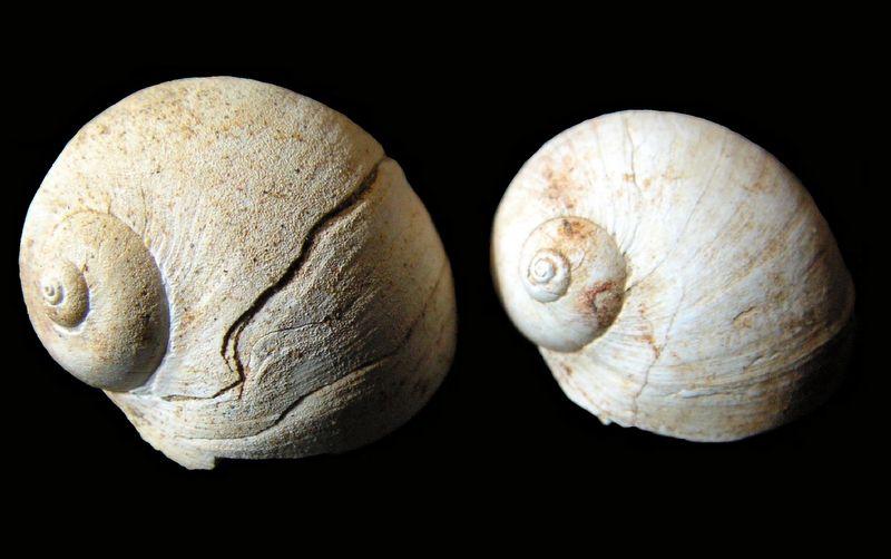 Naticidae - † Natica pachyope (Cossmann & Peyrot, 1921) - Aquitaine Natipach12