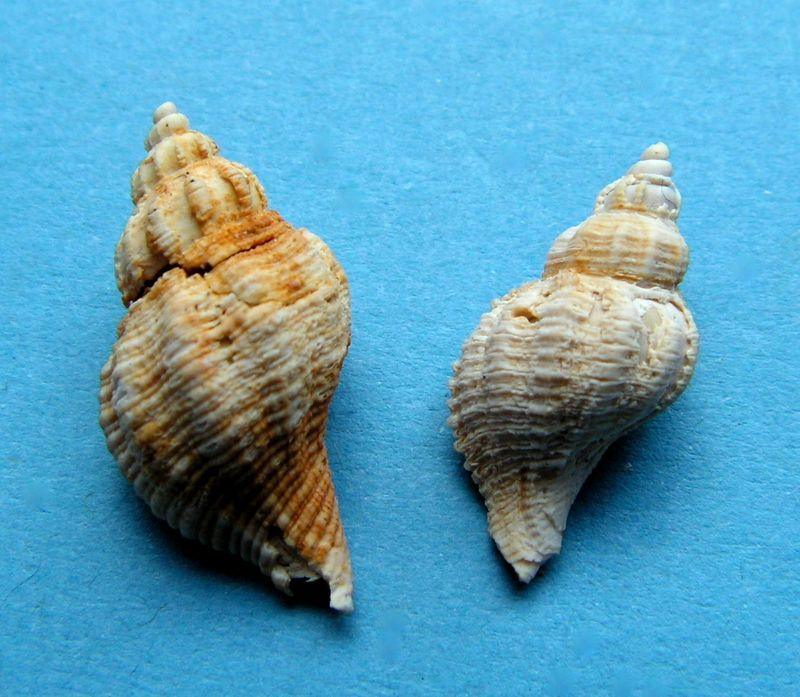 Muricidae - † Ocenebra (Ocenebrina) excoelata (Cossmann & Peyrot, 1924) - Burdigalien sup. Ocenexco11