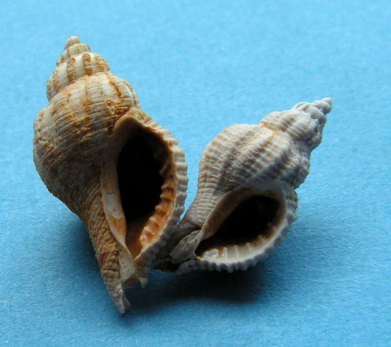Muricidae - † Ocenebra (Ocenebrina) excoelata (Cossmann & Peyrot, 1924) - Burdigalien sup. Ocenexco12