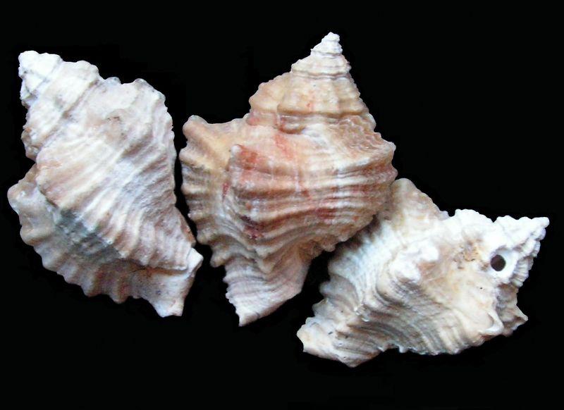 Muricidae - † Ocenebra beaumonti (Grateloup, 1840) - Aquitanien des Landes Ocenbeau10
