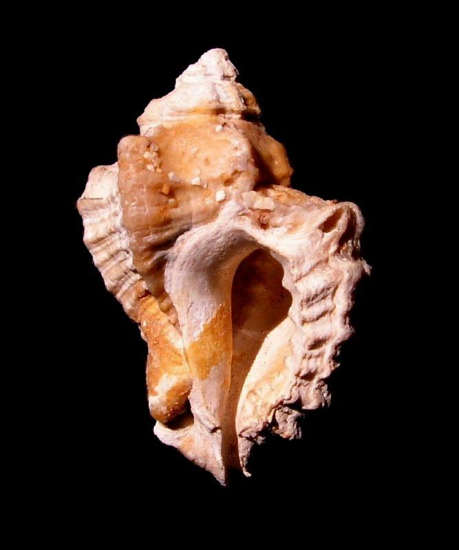 Muricidae - † Ocenebra beaumonti (Grateloup, 1840) - Aquitanien des Landes Ocenbeau12