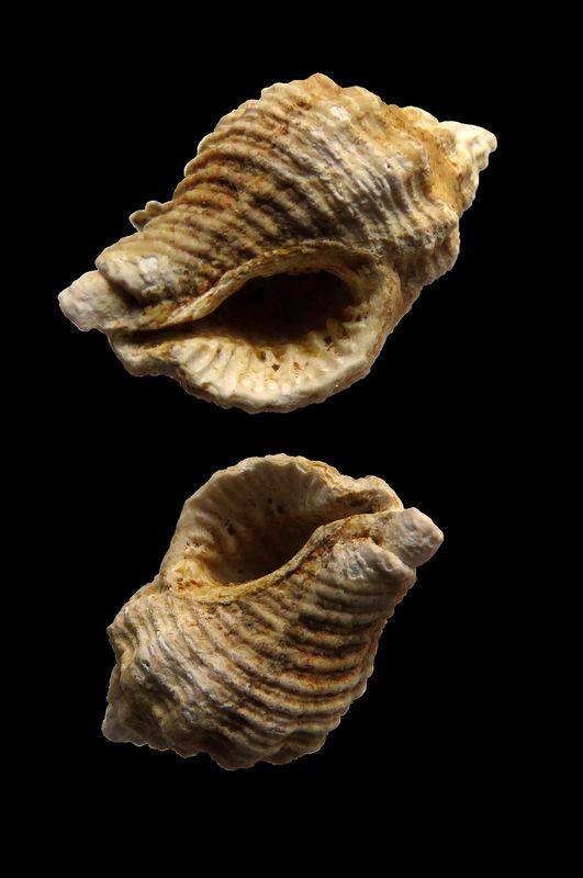 Muricidae - † Ocenebra (Ocenebrina) bicaudata, Borson 1821 - Serravalien (Salles) Ocenbica14