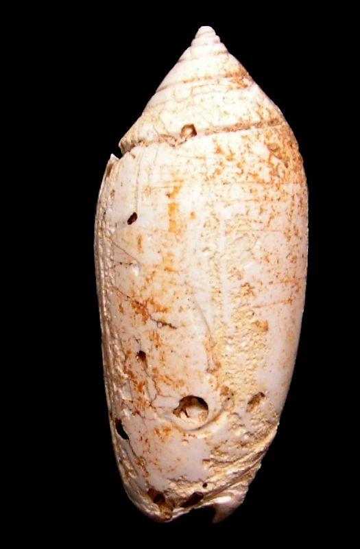 Olividae - † Oliva (Strephona) dufresnei (Basterot, 1825) - Burdigalien (St Martin d'Oney 40) Olidufr14