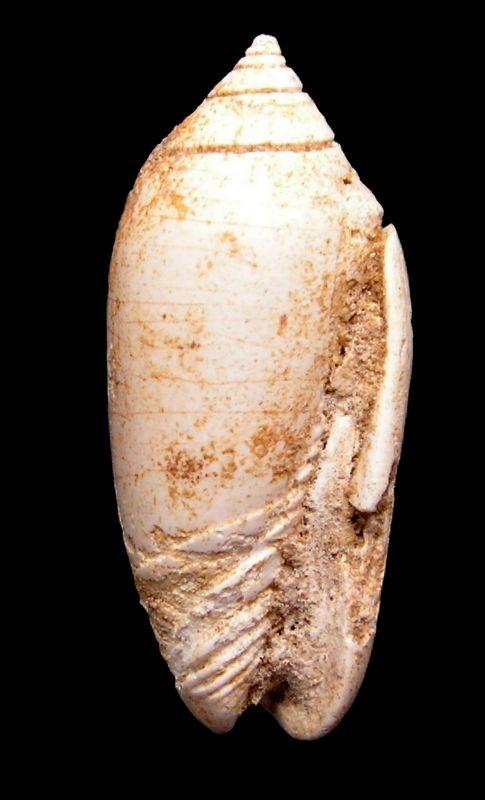 Olividae - † Oliva (Strephona) dufresnei (Basterot, 1825) - Burdigalien (St Martin d'Oney 40) Olidufr15