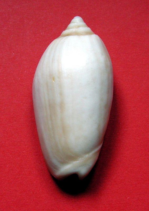 Americoliva tisiphona (Duclos, 1844) - Fossile Olitisip12