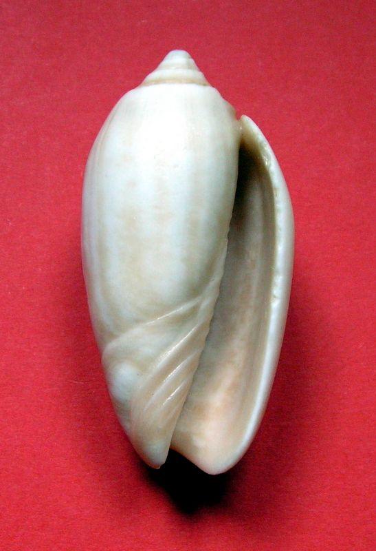 Americoliva tisiphona (Duclos, 1844) - Fossile Olitisip13