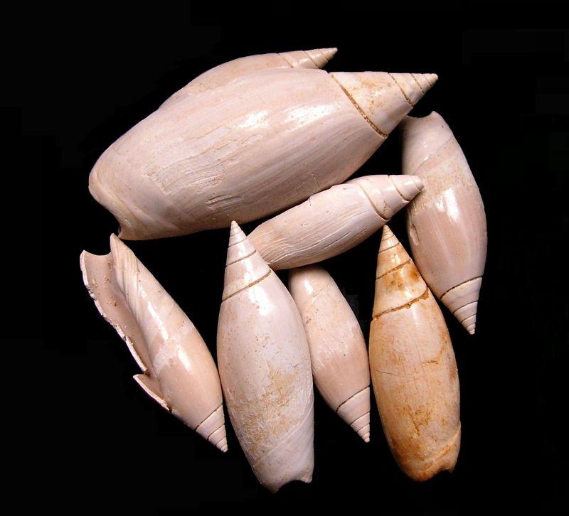 Olividae - † Olivancillaria plicaria (Lamarck, 1810) - Burdigalien Olivancpli10