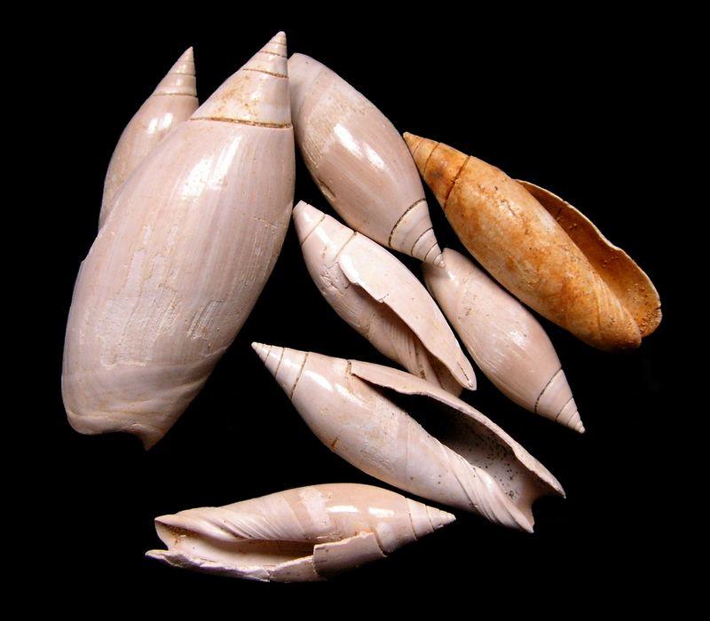 Olividae - † Olivancillaria plicaria (Lamarck, 1810) - Burdigalien Olivancpli11