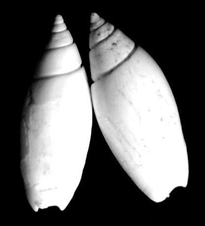 Olividae - † Olivella nilotida (Duclos, 1840) Olivegrat11