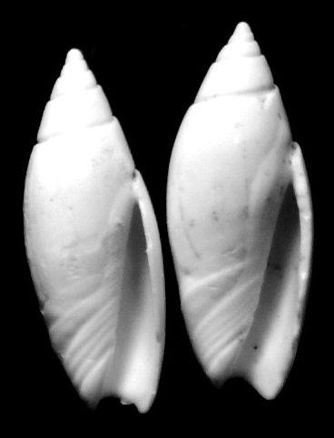 Olividae - † Olivella nilotida (Duclos, 1840) Olivegrat12