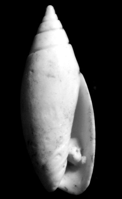 Olividae - † Olivella nilotida (Duclos, 1840) Olivegrat20