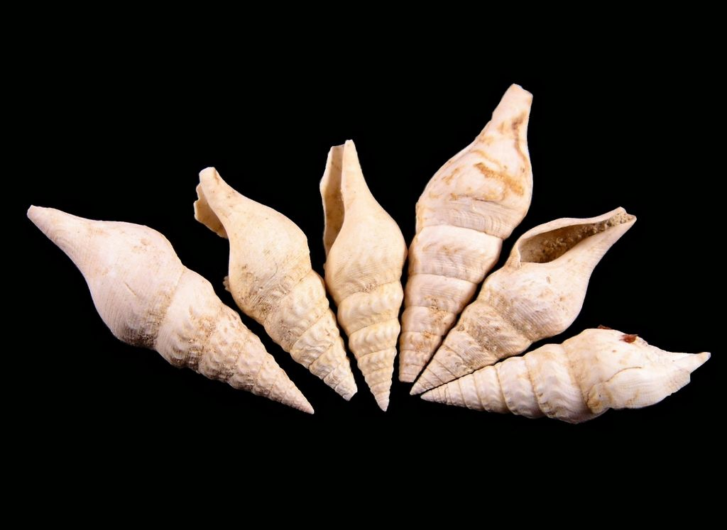 Turridae - † Eopleurotoma bicatena (Lamarck, 1804) - (Bassin Parisien) Pleubica10