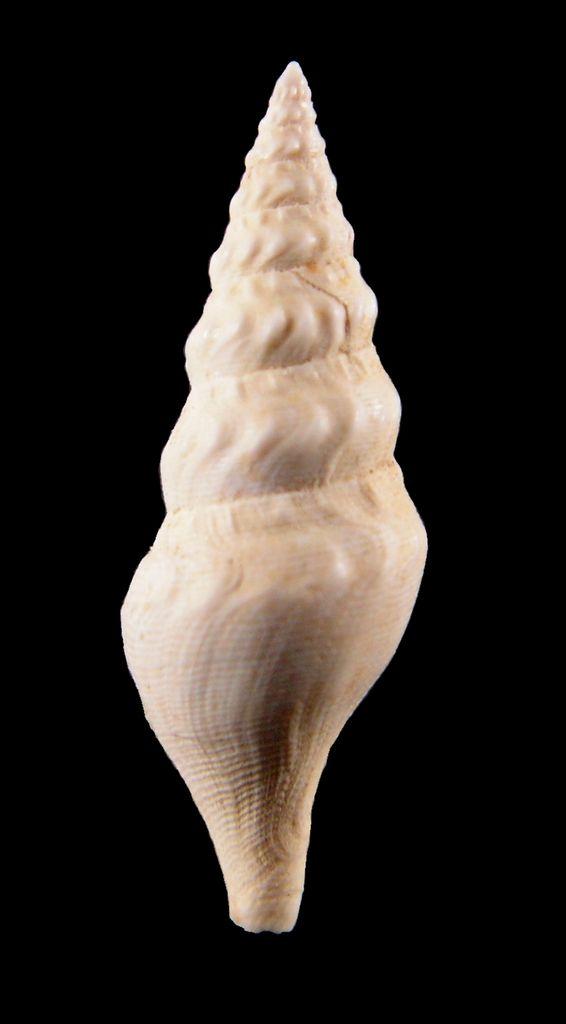 Turridae - † Eopleurotoma bicatena (Lamarck, 1804) - (Bassin Parisien) Pleubica12