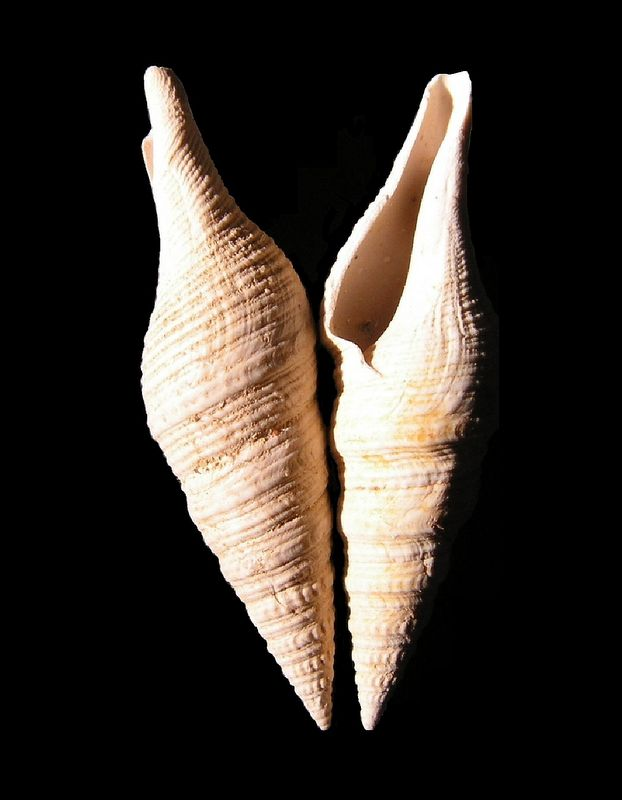 Turridae - † Turris disjuncta var subcoalescens (Peyrot, 1931) - Burdigalien Pledisjsu15