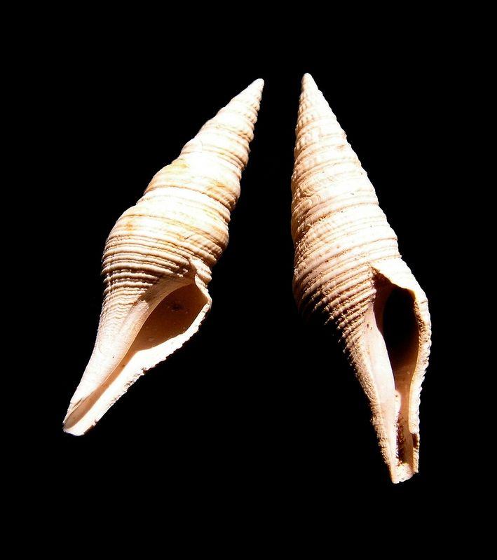 Turridae - † Turris disjuncta var subcoalescens (Peyrot, 1931) - Burdigalien Pledisjsu16