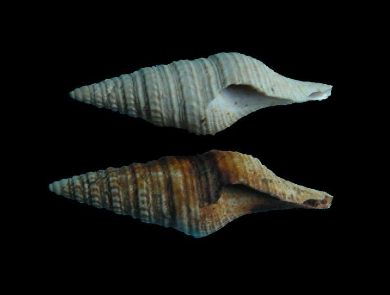 Turridae - † Pleurotoma disjuncta (Peyrot, 1931) - (Mérignac) Pleudisj10