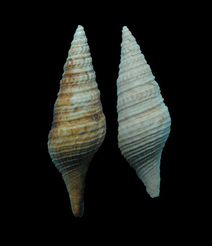 Turridae - † Pleurotoma disjuncta (Peyrot, 1931) - (Mérignac) Pleudisj12