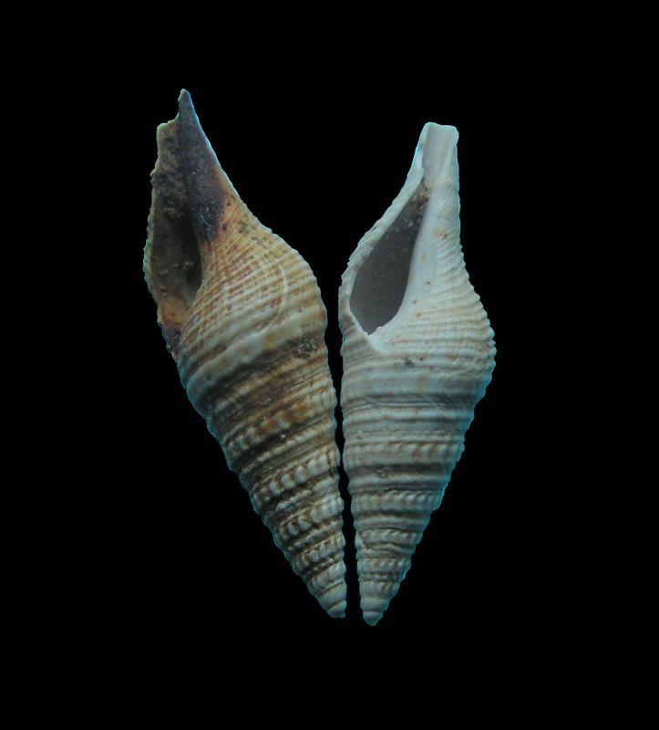 Turridae - † Pleurotoma disjuncta (Peyrot, 1931) - (Mérignac) Pleudisj13