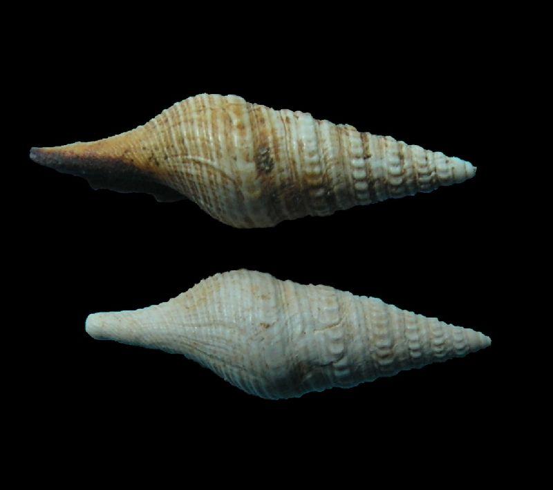 Turridae - † Pleurotoma disjuncta (Peyrot, 1931) - (Mérignac) Pleudisj_0