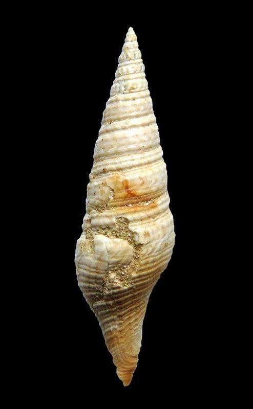 Turridae -  †  Pleurotoma subundata (d' Orbigny, 1852) Pleusubu11