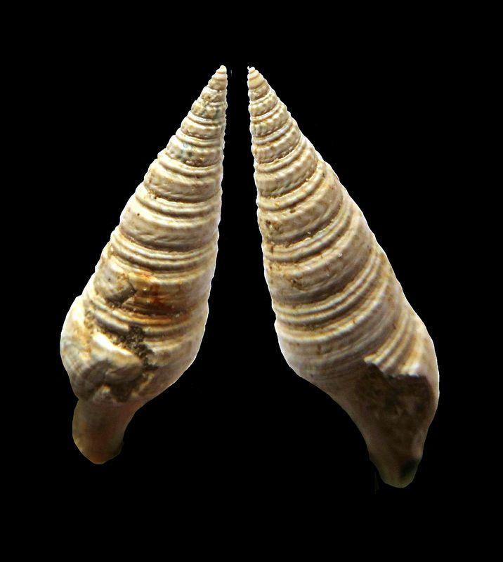Turridae -  †  Pleurotoma subundata (d' Orbigny, 1852) Pleusubu_0